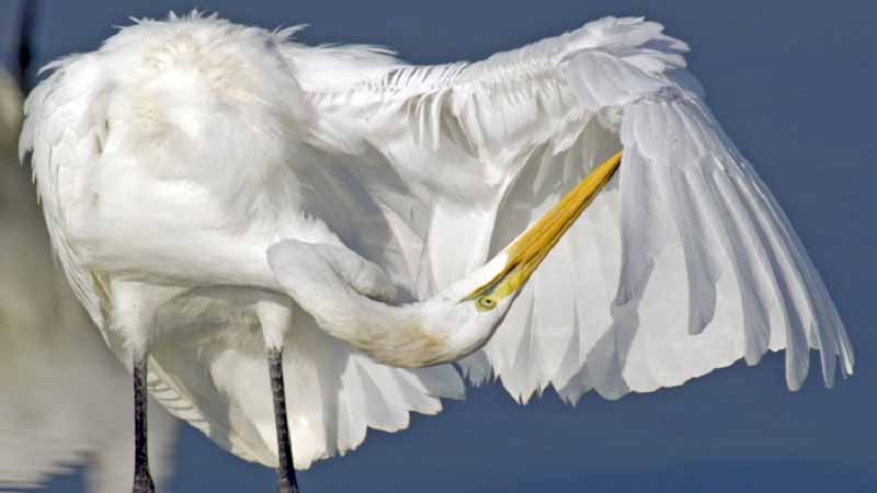 Great Egret grooming
