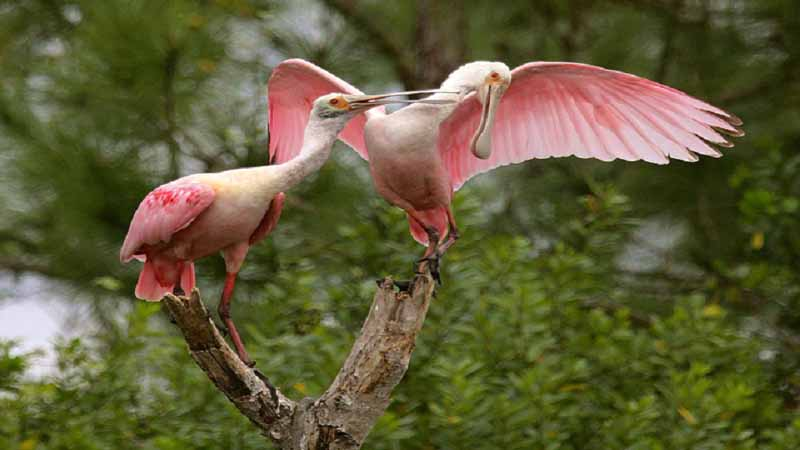 Spoonbills on a perch